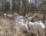 Stock Video Footage of Herd of the Dutch Landrace goat moving, eating in high grass in peat bog