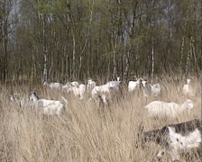 Herd of the Dutch Landrace goat moving and eating in high grass Stock Footage