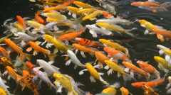Carps Fish Japanese Swimming Stock Footage