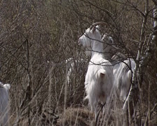 Herd of Dutch Landrace goats eating buds from birch in moorland Stock Footage