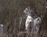 Stock Video Footage of Herd of Dutch Landrace goats eating buds from birch in moorland