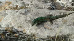 Europe Spain Balearic Ibiza coves and landscapes 094 a lizard on a rock Stock Footage