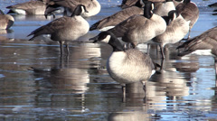P03309 Flock of Canada Geese on Icy Pond Stock Footage