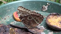 P03301 Blue Morpho Butterfly Feeding on Rotten Fruit Stock Footage