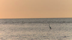 Single bird at sunset in Australia Stock Footage