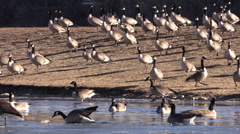 P03308 Flock of Canada Geese Walking into Pond Stock Footage