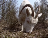 Stock Video Footage of Dutch Landrace goat grazing - low angle