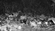 Stock Video Footage of P03339 Raccoons at Night Feeding in Garbage Dump