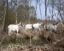 Herd of the Dutch Landrace goat moving in peat bog landscape Stock Footage
