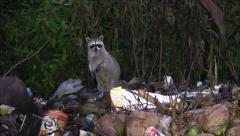P03337 Raccoons Foraging in Dump or Trash at Night Stock Footage
