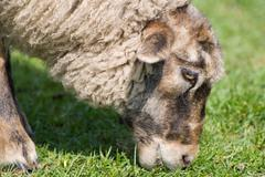 Single adult sheep eating grass head detail Stock Photos