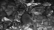 Stock Video Footage of P03338 Raccoons Feeding at Night in Garbage