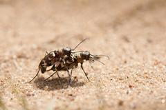 Cicindela hybrida insects procreating on sand - stock photo