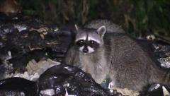 P03340 Raccoons Feeding at Night in Garbage Pile Stock Footage