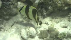 P03342 Tropical Butterfly Fish in the Caribbean Stock Footage