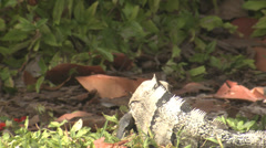 P03393 Sping-tailed Iguana Mating Display Stock Footage