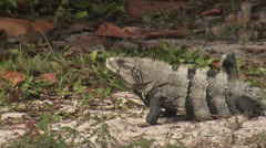 P03394 Spiny Iguanas in Central America Stock Footage