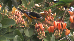Oriole Bird Feeding on Flowers in Central America Stock Footage