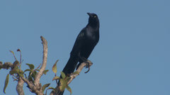 P03390 Great-tailed Grackle Displaying and Calling Stock Footage