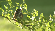 Stock Video Footage of Close up baby robin in a tree 09