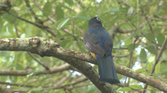 Stock Video Footage of P03387 Trogon Bird in Jungle in Central America