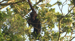 P03374 Black Howler Monkey Hanging by Tail and Eating Stock Footage