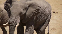 elephant 11, portrait, walking and smelling - stock footage