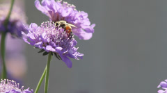 Close up bee on bachelor's button - stock footage