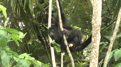 P03382 Black Howler Monkey in Jungle Eating Leaves Stock Footage