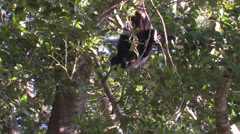 P03377 Howler Monkey Feeding on Branches Hanging Upside Down Stock Footage