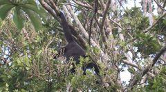 P03373 Howler Monkeys in Central America Stock Footage