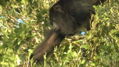 P03376 Howler Monkey Grabbing and Feeding on Leaves Stock Footage