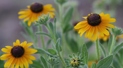 Close up Black-eyed Susan III Stock Footage