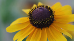 Close up Black-eyed Susan II Stock Footage