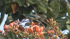P03369 Blue-gray Tanager Feeding on Nectar in Flowers Stock Footage