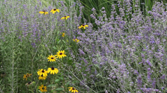Black-eyed Susan with Russian Sage Stock Footage