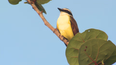 P03363 Great Kiskadee Bird in Central America Stock Footage