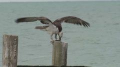 P03359 Osprey Feeding on Fish in Central America Stock Footage