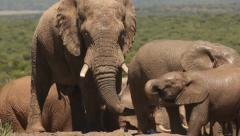 group of elephants 14 drinking - stock footage
