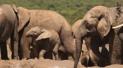 Elephant herd 16 at mud hole with high-spirited baby Stock Footage