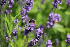 Bumble Bee pollinating purple flower Stock Photos