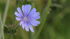 Close up Chicory Stock Footage