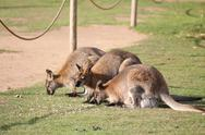 Stock Photo of Kangaroos huddle together for food