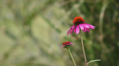 Close up Coneflower III Stock Footage