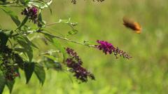 Fritillary on buterfly bush III Stock Footage