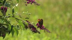 Fritillary on buterfly bush II Stock Footage