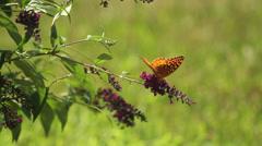Fritillary on buterfly bush Stock Footage