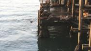 Stock Video Footage of Sea Lions Barking On The Wharf In Santa Cruz