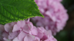 Hydrangea rack focus - stock footage