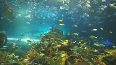 Huge schools of tropical fish along with large sharks in a coral reef - stock footage